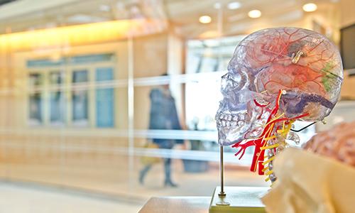 A plastic transparent human skull with veins.