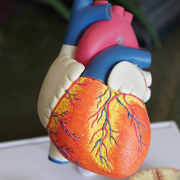 Replica of human heart.